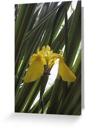 Yellow Flag Iris by May Lattanzio