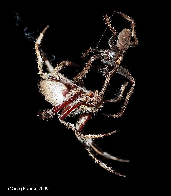 spider porn