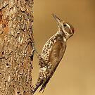 Arizona Woodpecker  by Larry  Selman