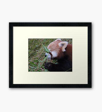 Little Bamboo, Little Panda Framed Print