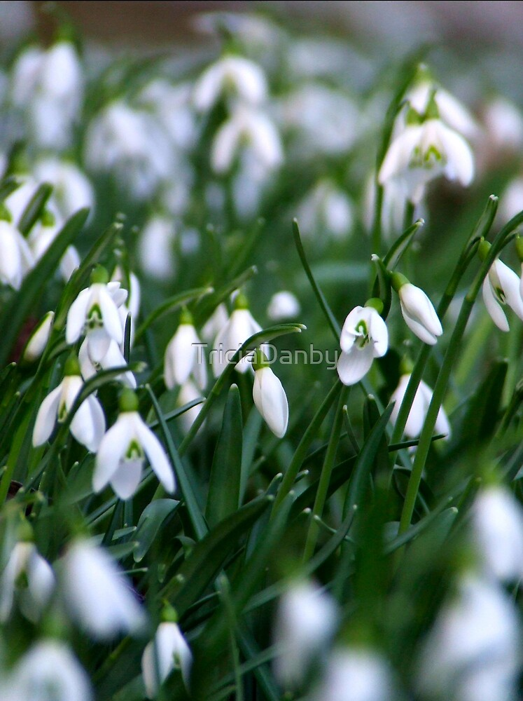 Field of snowdrops by TriciaDanby