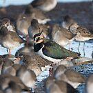 Northern lapwing (Vanellus vanellus) by Stephen Liptrot