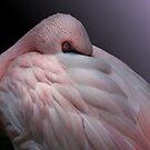 Lesser Flamingo Resting by DebiDalio
