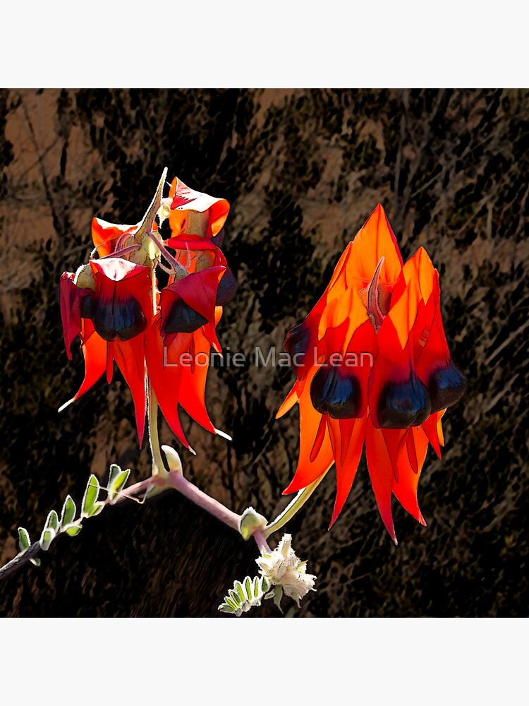Sturt Desert Pea Flower, outback flora, wildflowers, Australia. by yallmia