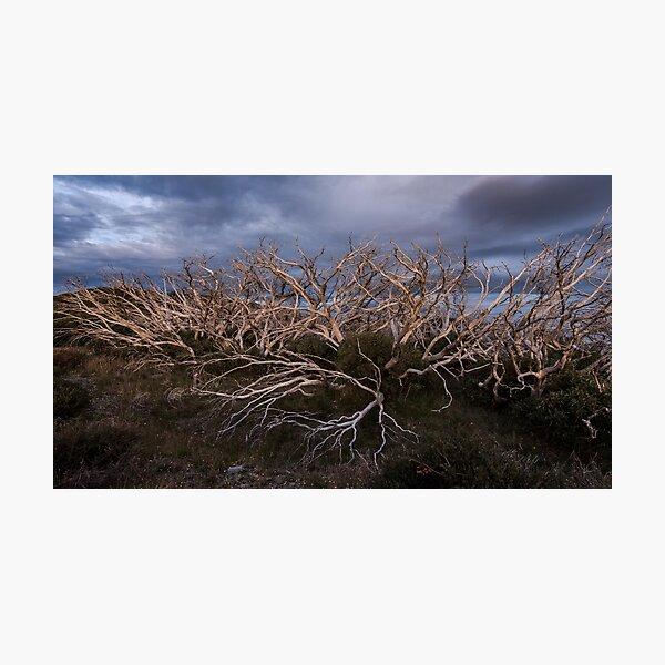 Snowgum Sticks Photographic Print