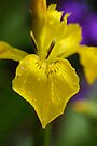 Yellow Iris by AnnieSnel