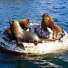 Lobos de mar en la bahía. by Francisco Larrea