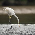 Great Egret on the Gold Coast by Janette Rodgers