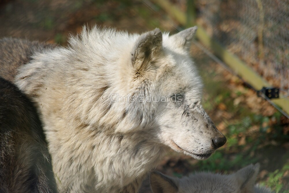 White Timber Wolf by Chris Edwards