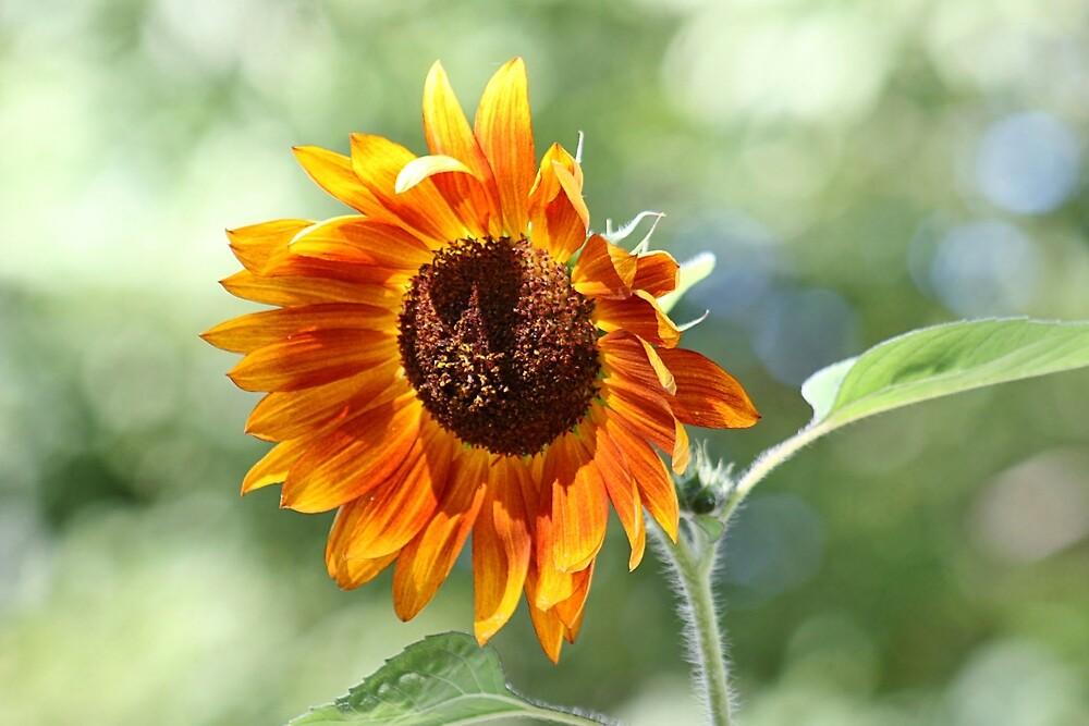 Sunflower in the late summer sun by Linda Crockett