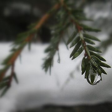 Water Droplets on Pine by BashsArt