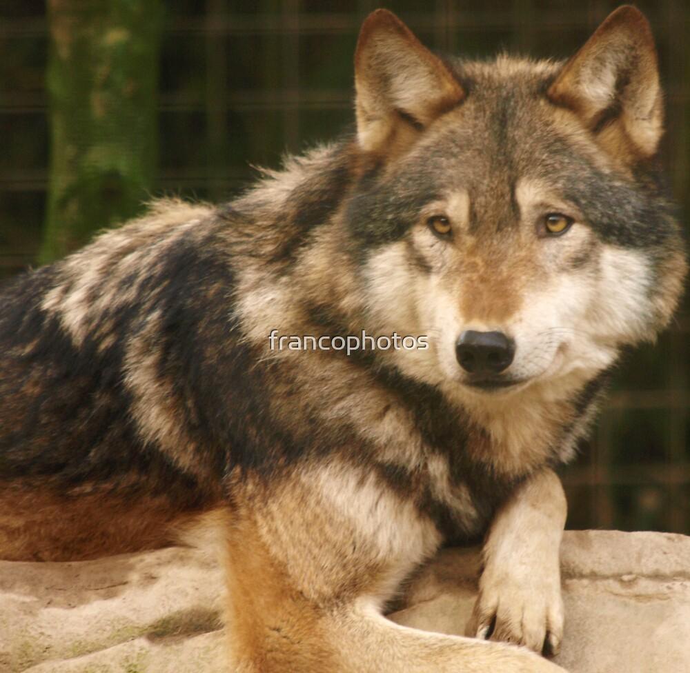 Grey Wolf by Franco De Luca Calce