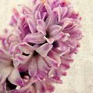 Pink Hyacinth by Karen  Betts