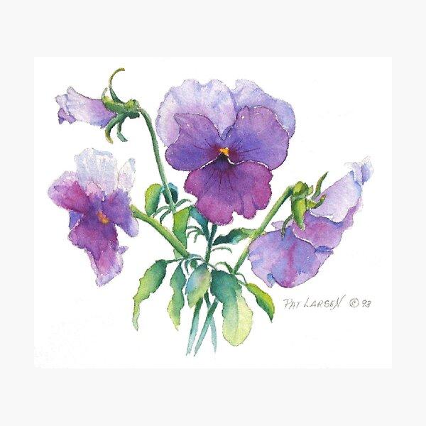 Lavender Pansy Photographic Print