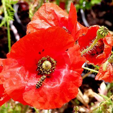 Poppy by leekier