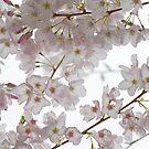 Cherry Blossom by Olga Zvereva