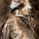 Wild Wedge Tailed Eagle Canberra n01 by Kym Bradley