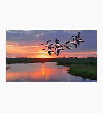 Flock of Pintail Ducks Photographic Print