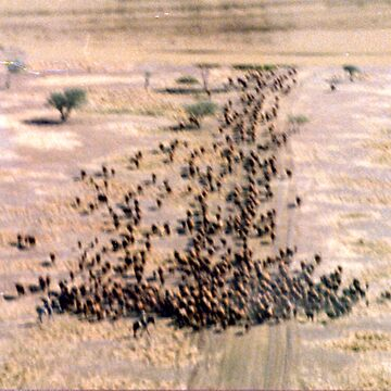 Aviation series - cattle mustering by BenTimages