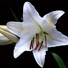 White Lily by Magee