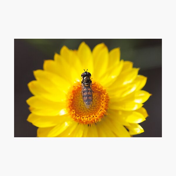 Hoverfly on a paper daisy Photographic Print