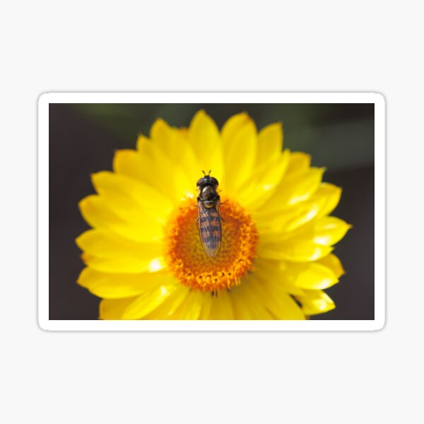 Hoverfly on a paper daisy Sticker