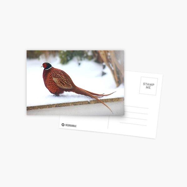 Mr Pheasant in full glory Postcard