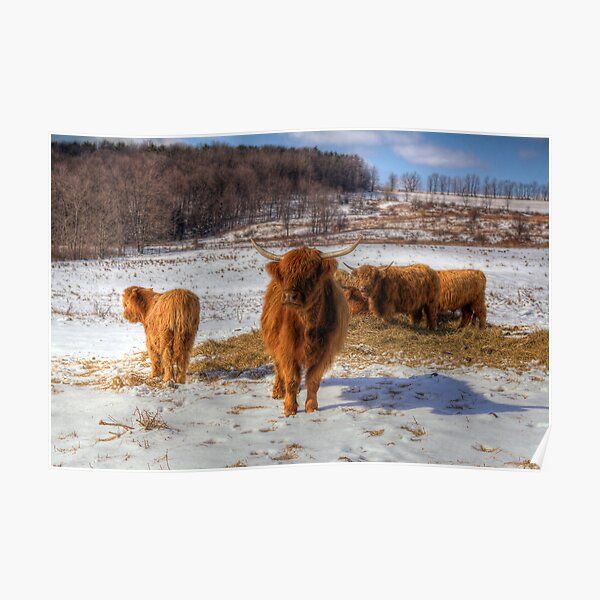 Scottish Highland Cattle Poster