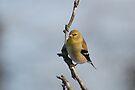 A Goldfinch by Lynda   McDonald