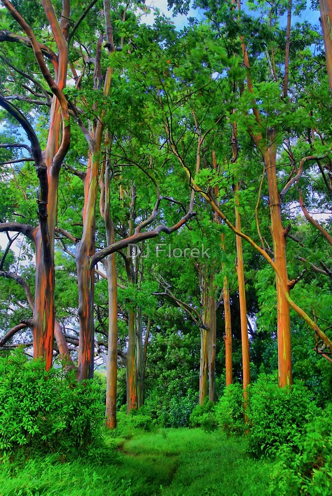 Amazing Rainbow Eucalyptus by DJ Florek
