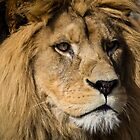 Close up of a Male African Lion  by ensell