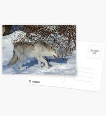 Rocky Mountain gray wolf Postcards