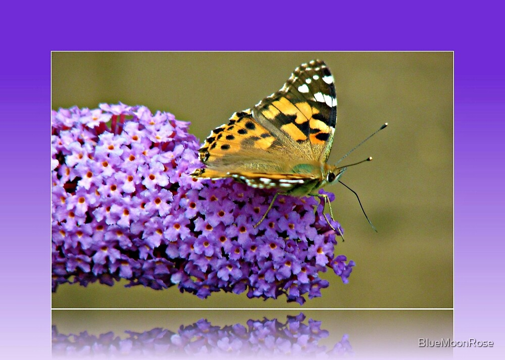 Butterfly on Buddhleia in Reflection Frame by BlueMoonRose