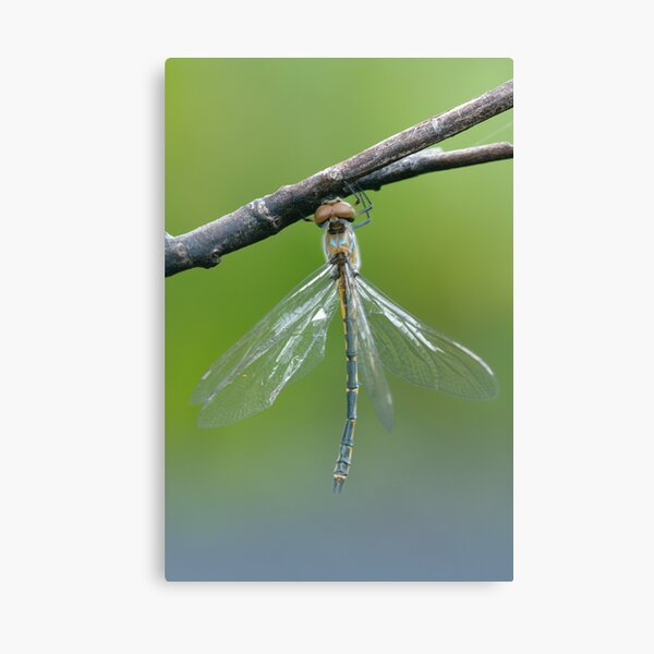 Emerald Dragonfly Canvas Print