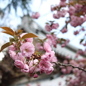 Blossom Of Japan  by lozanoroyce