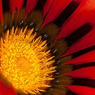 Red Gazania by SusanAdey