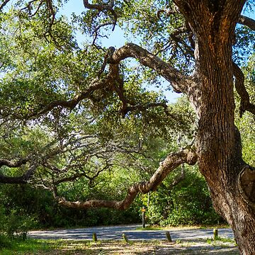 Escarpment Live Oak by FlareND