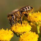Honey Bee by Erik Schlogl