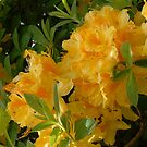 Rare Yellow Rhodie by Marjorie Wallace