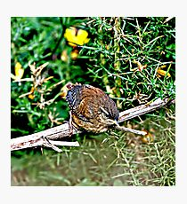 (Winter Wren) Perched For Take-Off Photographic Print