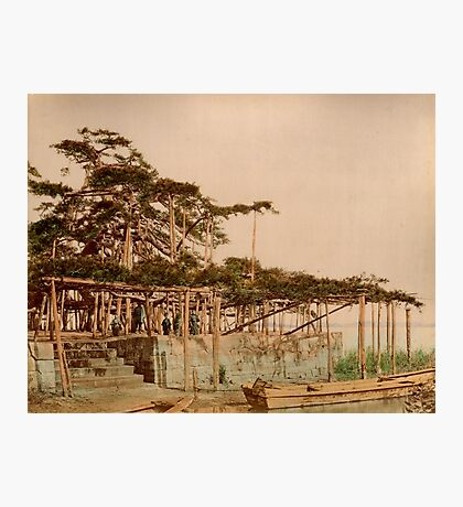 Karasaki Pine Tree Photographic Print