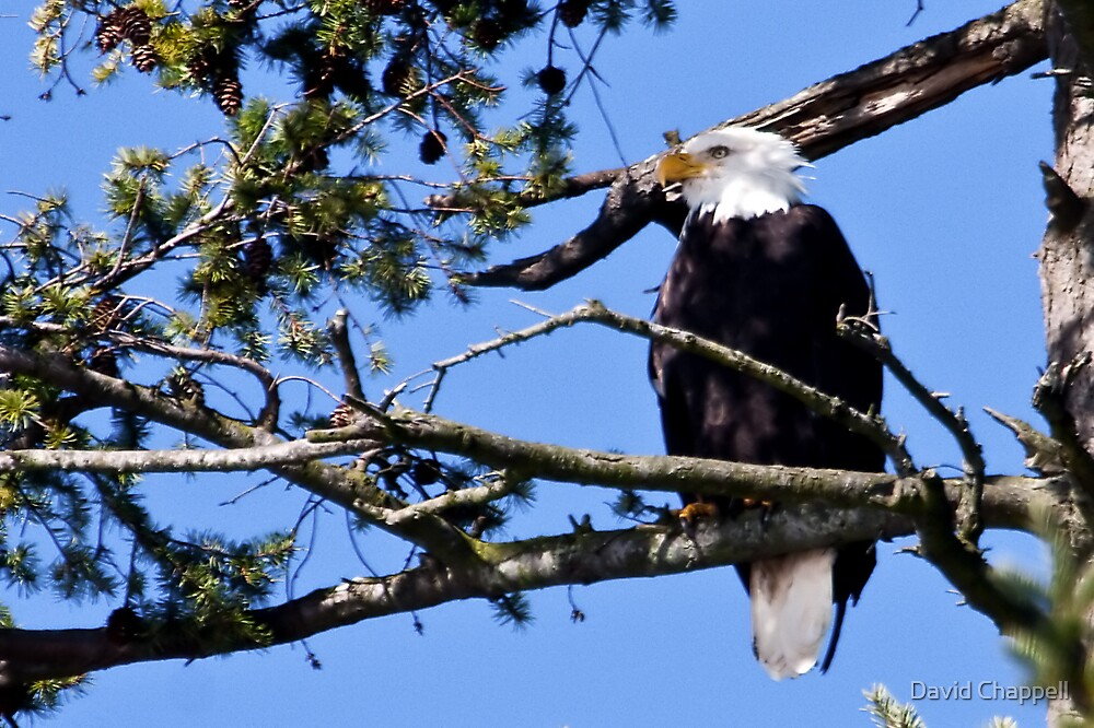 Skagit Valley Eagle 1 by David Chappell