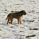 Border Terrier - Great, Snow by John Honeyman