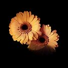 Two Gerberas Light And Shadow by hurmerinta