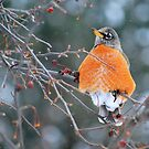 Robin in Winter #3 by Laurie Minor