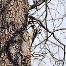 Woodpecker by CjbPhotography