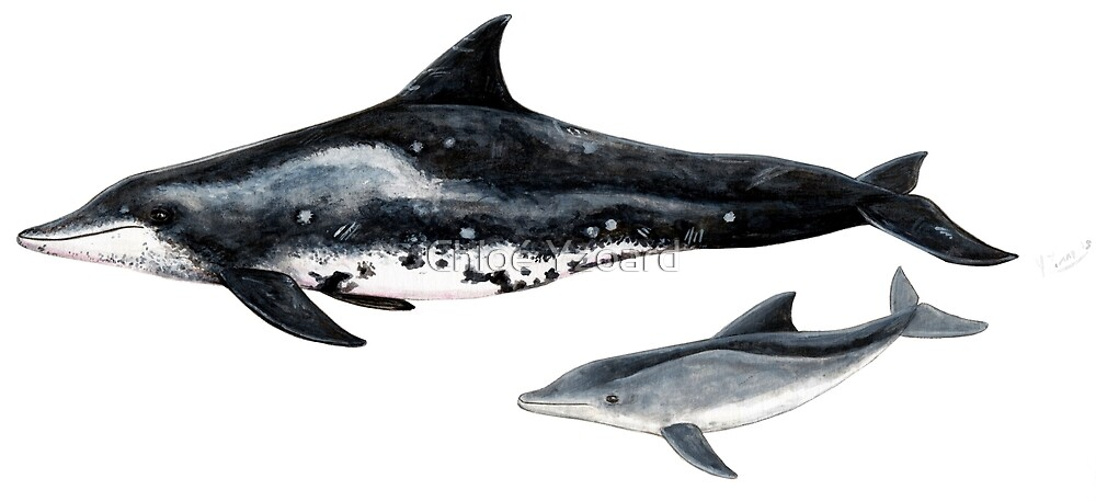 Rough toothed dolphin by Chloé Yzoard