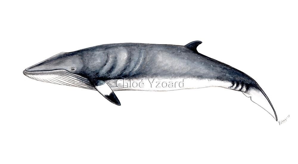 Minke whale by Chloé Yzoard