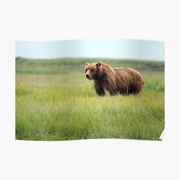 Walking With the Brown Bears in Hallo Bay Poster