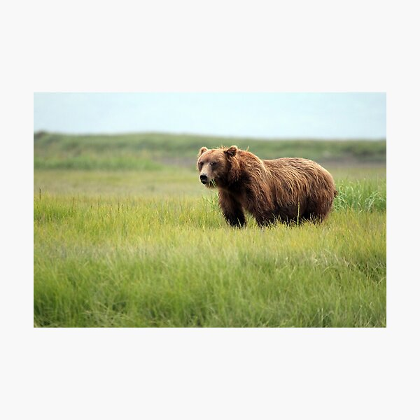 Walking With the Brown Bears in Hallo Bay Photographic Print